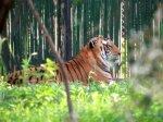 photo wallpaper - tiger